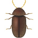 Biscuit Beetle - Stored Product Pest - Bayer
