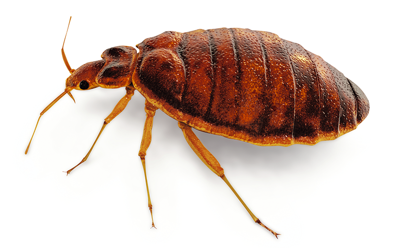bed bug problems - Bayer Expert Advice